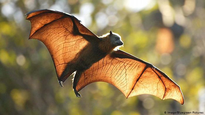 آسٹریلیائی پھل بیٹ بل bat وسط اڑان جس کے پروں والے دن کی روشنی میں پھیل جاتے ہیں